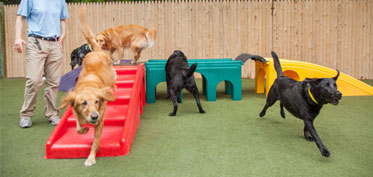 Dogs running in group daycare