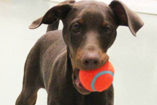 Puppy with tennis ball